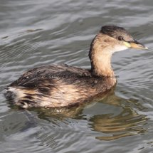 Little Grebe or Dabchick (2)