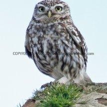 Little Owl (11)