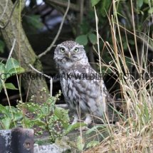 Little Owl 4