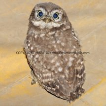 Little Owl (2)