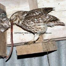 Little Owl 5.7 (1)