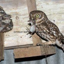 Little Owl 5.7 (4)