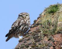 Little Owl (8)