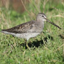 Long Billed Dowitcher (1)