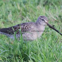 Long Billed Dowitcher (3)