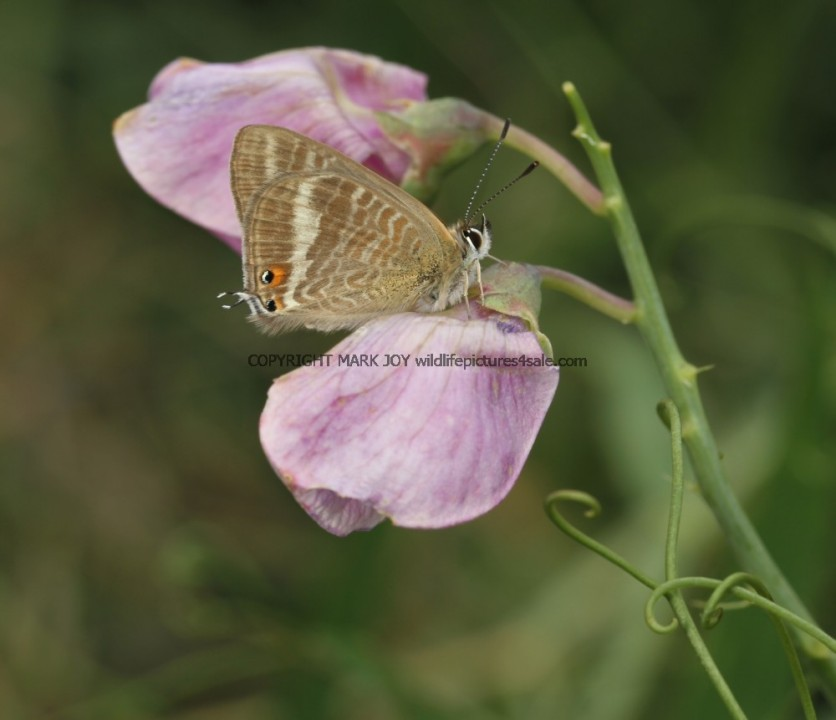 Long Tailed Blue (1)