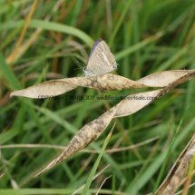 Long Tailed Blue (2)