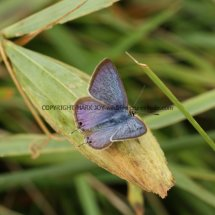 Long Tailed Blue (5)