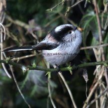 Long Tailed Tit (3)