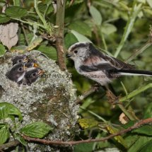 Long Tailed Tit (4)