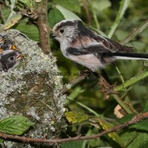 Long Tailed Tit (10)