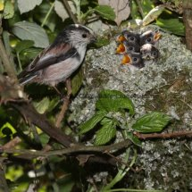 Long Tailed Tit (18)