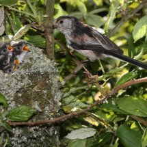 Long Tailed Tit (20)
