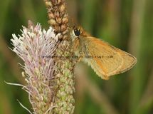 Lulworth Skipper 34 (1)
