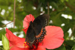 Magnificent Swallowtail - Female (Papilio garamus) (1)