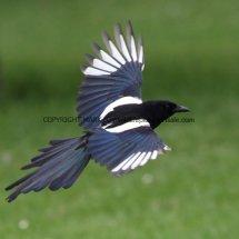 Magpie (6)