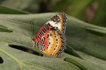 Malay Lacewing - Cethosia hypsea hypsina