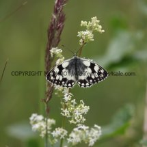 Marbled White (10)
