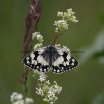 Marbled White (11)