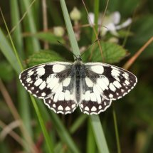 Marbled White (12)