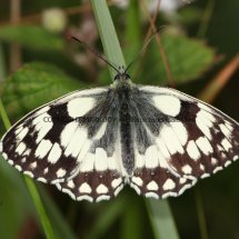 Marbled White (13)