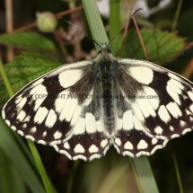 Marbled White (14)