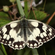 Marbled White (15)