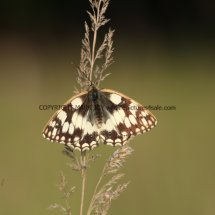 Marbled White (16)
