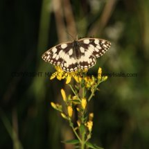 Marbled White (17)