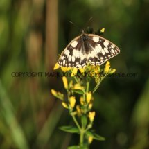 Marbled White (18)
