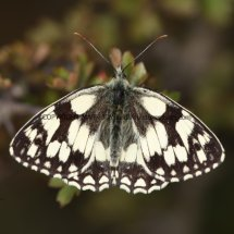 Marbled White (19)