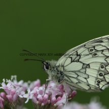 Marbled White (1)