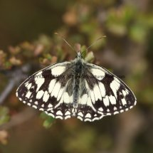 Marbled White (20)