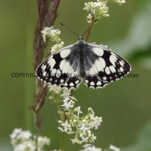 Marbled White (3)