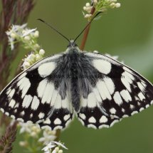 Marbled White (4)