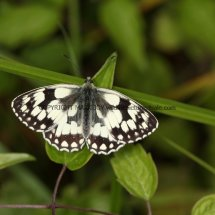 Marbled White (5)