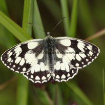 Marbled White (6)
