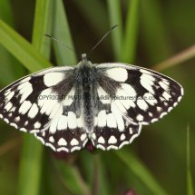 Marbled White (7)