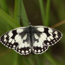 Marbled White (8)