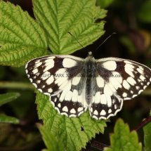 Marbled White (9)