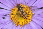 Marmalade Hoverfly(Episyrphus balteatus)