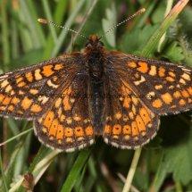 Marsh Fritillary (12)