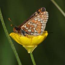 Marsh Fritillary (15)