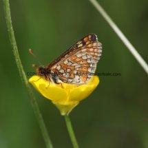 Marsh Fritillary (16)