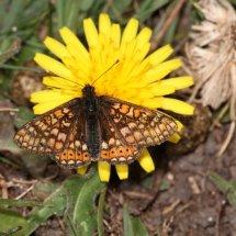 Marsh Fritillary (19)