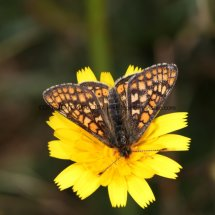 Marsh Fritillary (1)