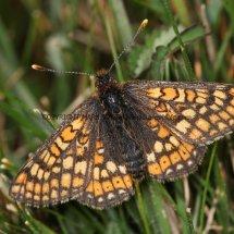 Marsh Fritillary (3)