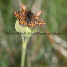 Marsh Fritillary (6)