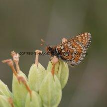 Marsh Fritillary (7)