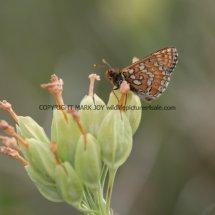 Marsh Fritillary (8)